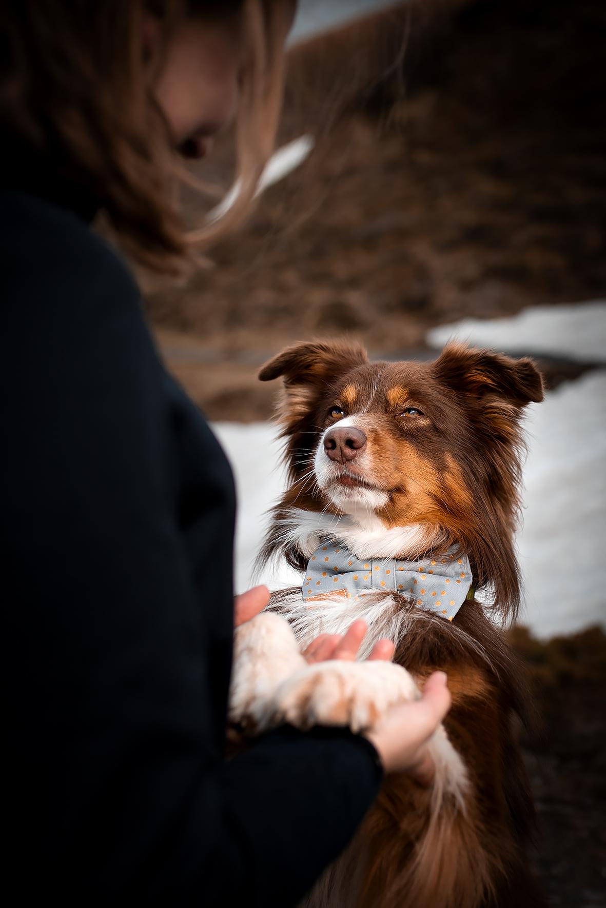 Der Red tricolor Australian Shepherd trägt eine Fliege für Hunde aus blauem Stoff mit goldenen Punkten anlässlich der Hochzeit von Frauchen in den Alpen.